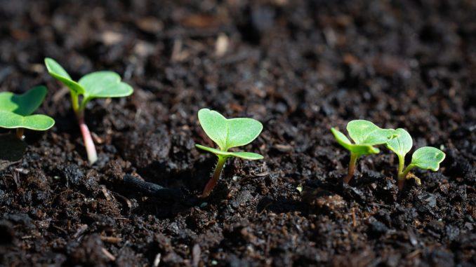 jeunes plantations du potager